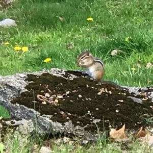 Chipmunk in Neuengland