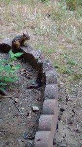 Chipmunk im Garten eines der Tiere in den USA