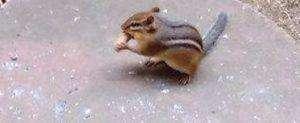 Chipmunks sind in Nordamerika weit verbreitet und sehr putzig - Wir haben einen Chipmunk in unserem Garten und er holt sich jeden Tag eine Nuss ab