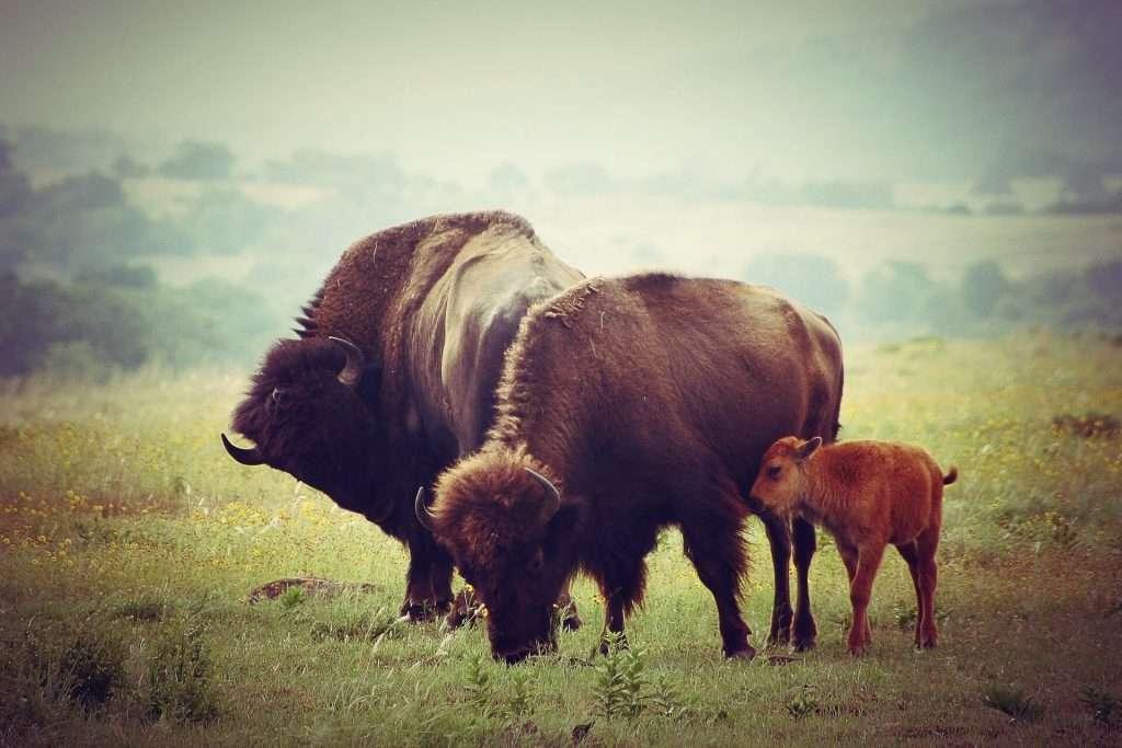 Büffel beobachten im US Staat Oklahoma